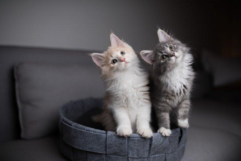 Kittens standing on cat basket
