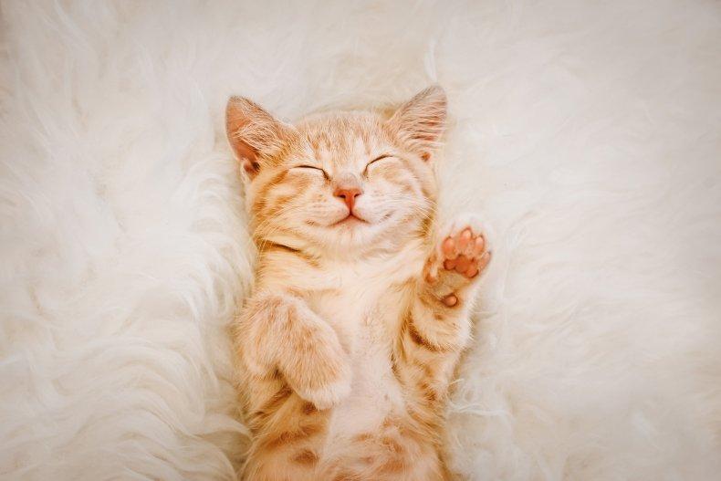 Ginger kitten lays on carpet