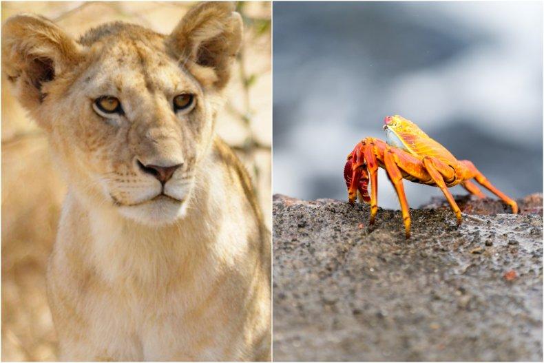 Tiny crab fends of lion pride