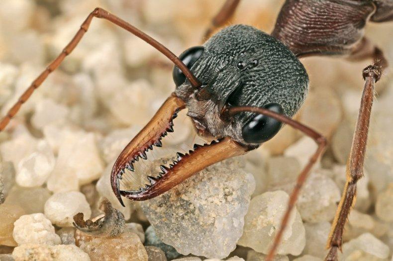 Bulldog Ant
