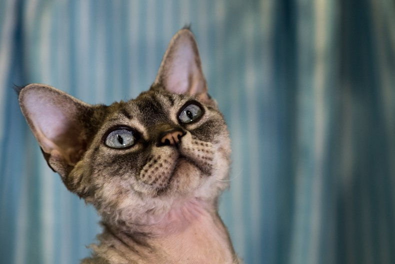 Devon Rex at Supreme Cat Show