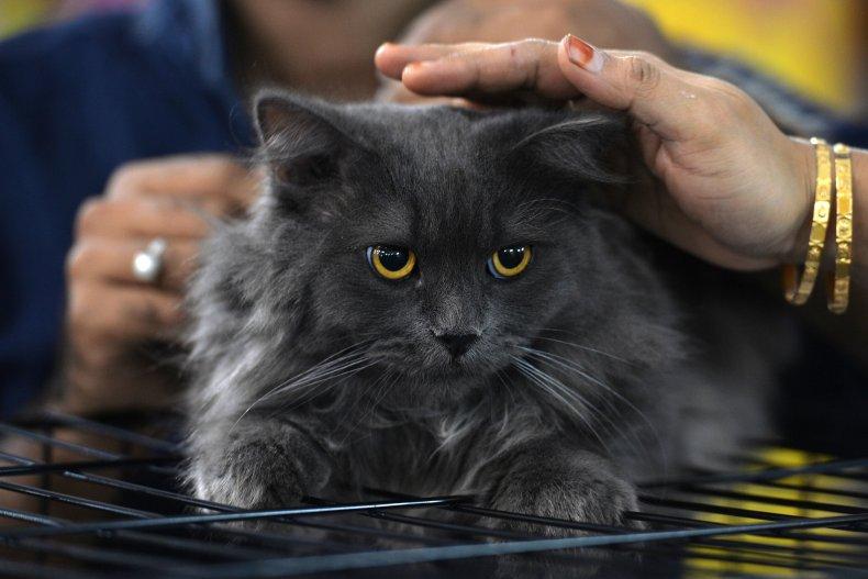 Sheru Siberian Cat in India