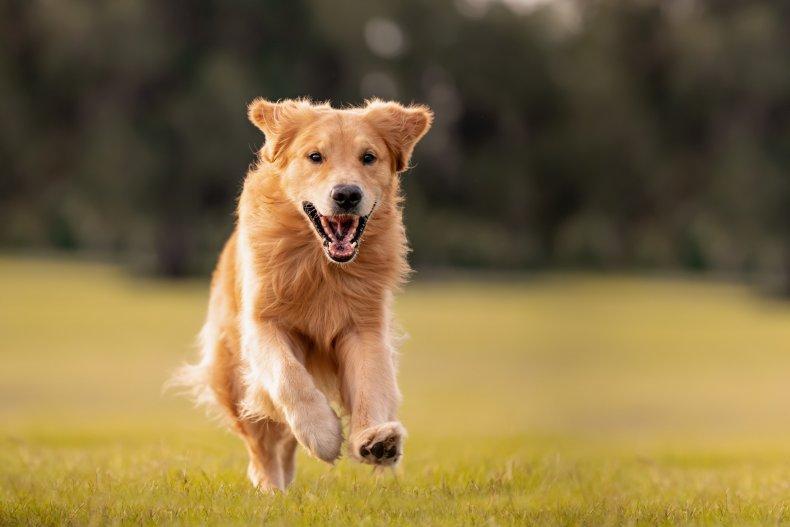 A Golden Retriever running in a field