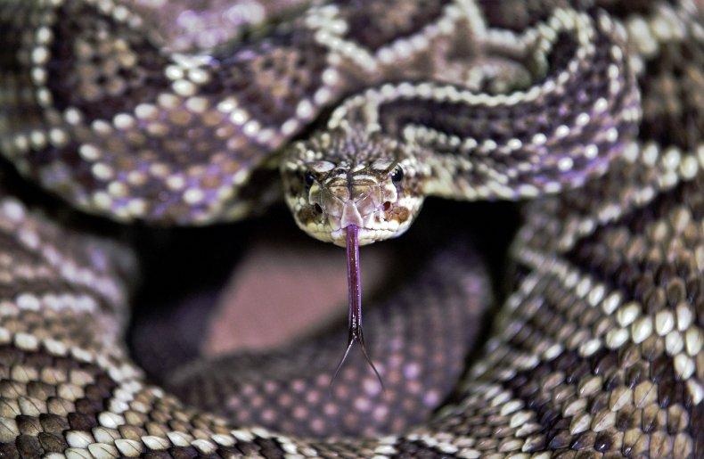 A rattlesnake tastes the air.