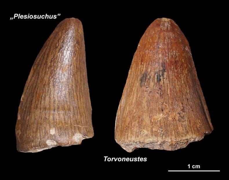Plesiosuchus and Torvoneustes teeth