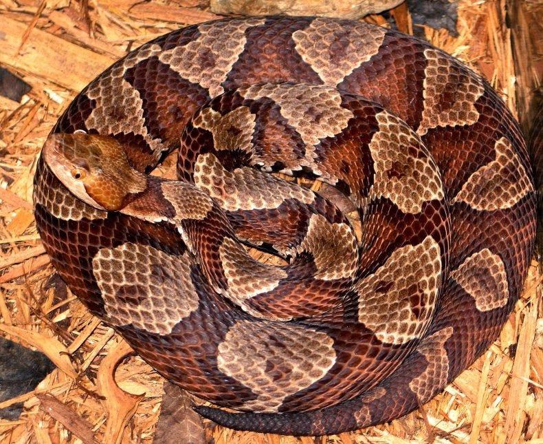 Venomous copperhead snake bite hospitalizes teen