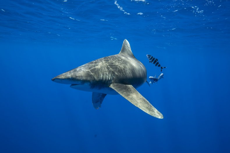 Shark underwater in SharkFest promotion