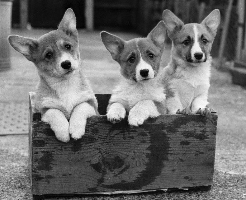 Corgi dogs
