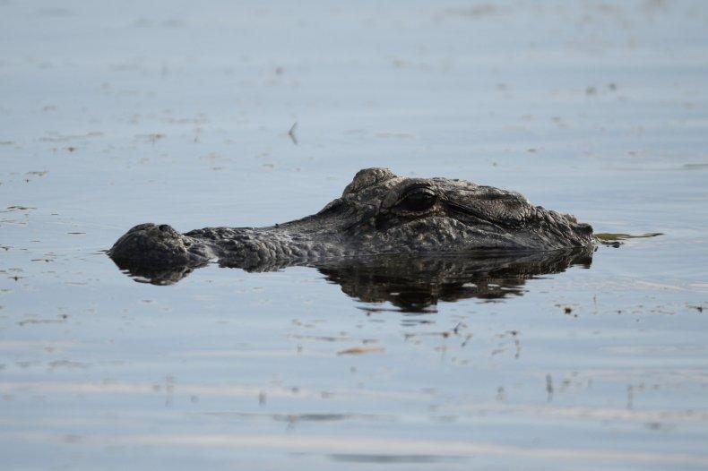 florida alligator attack