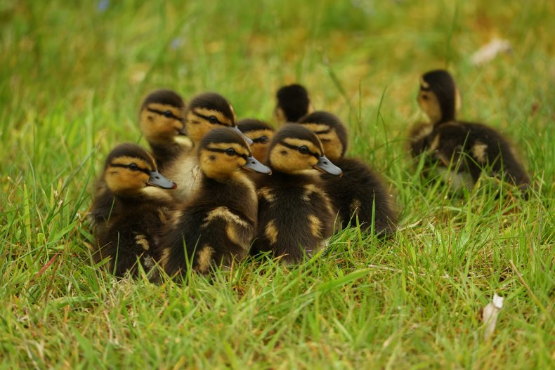 Ducklings rescued outside of library