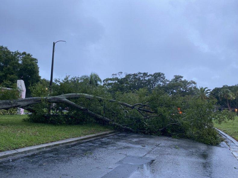 Fallen tree in Clearwater