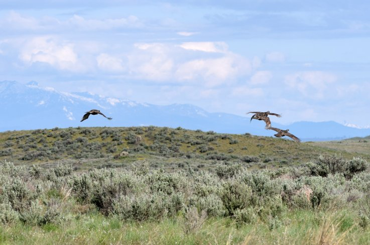 Sharp-tailed grouse in flight