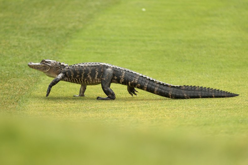 Woman literally kicks alligator out of road