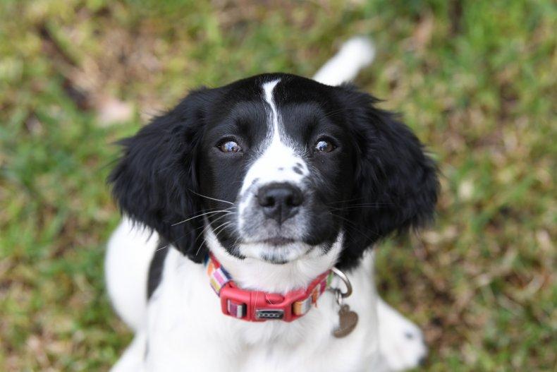 An English springer spaniel puppy.