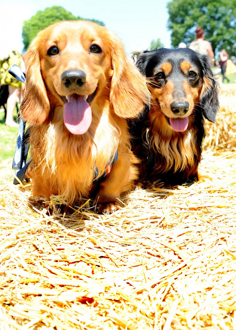 Miniature long-haired dachshunds in the U.K.
