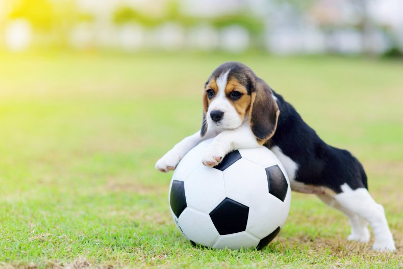 Puppy playing with soccer ball
