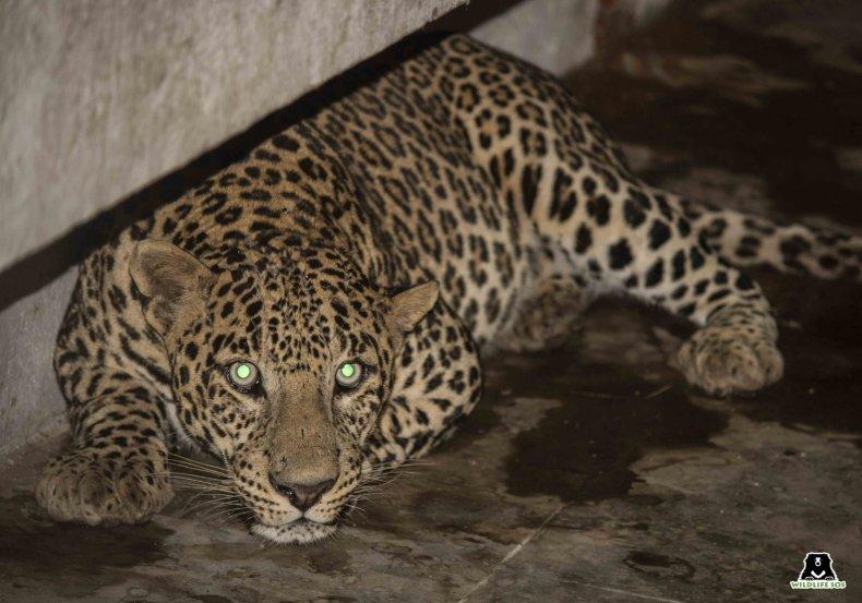 A leopard