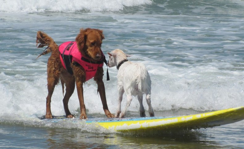 Ricochet the world famous surf dog