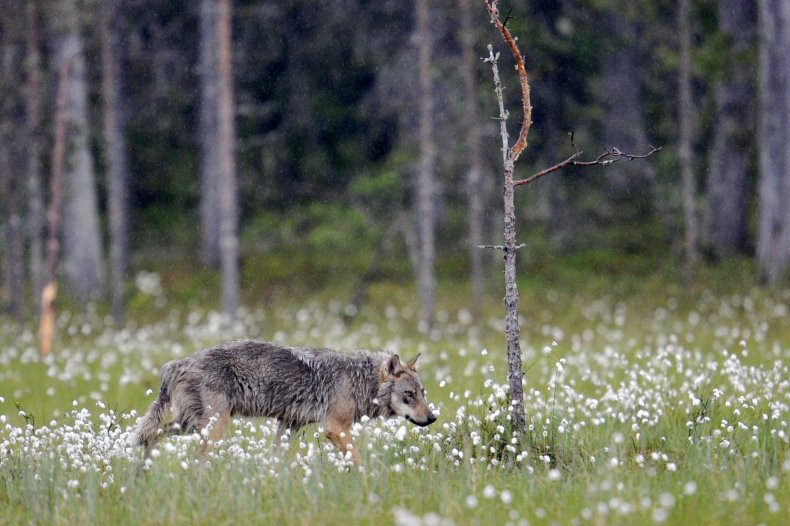 A wolf spotted near the Russian-Finnish border.