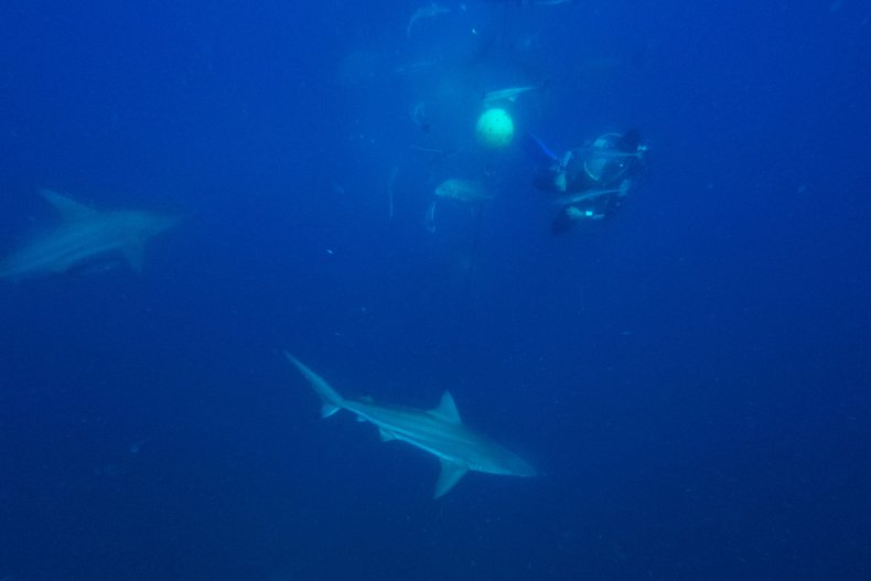 Blacktip reef sharks surround a diver.