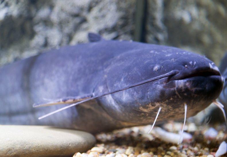 A blue catfish