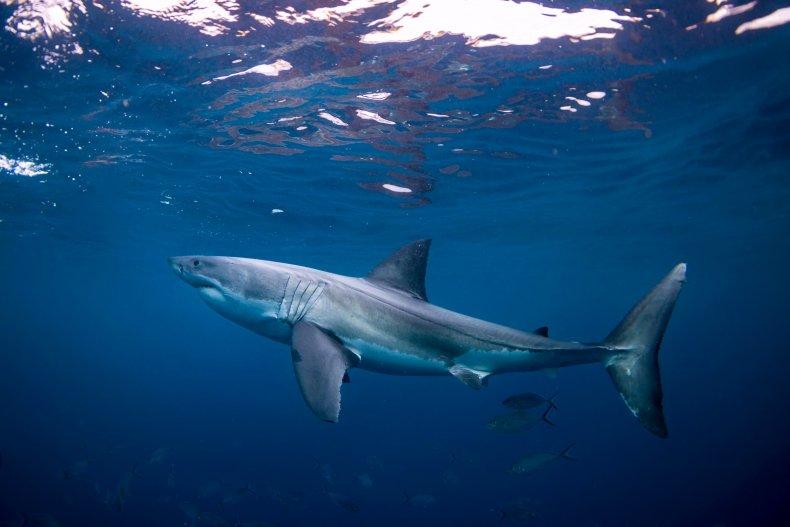 A stock photo of a shark