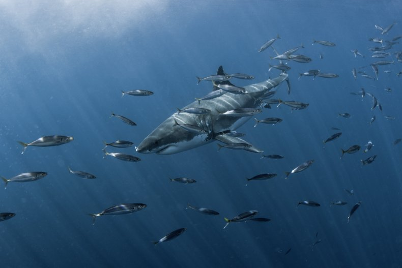 A Great White Shark in Guadalupe Island