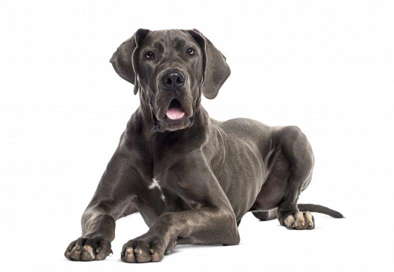 A Great Dane Dog