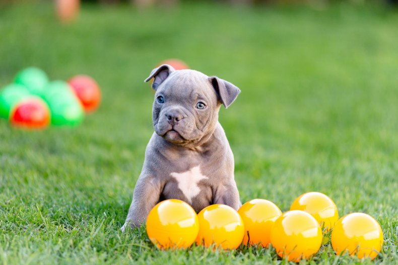 A puppy with yellow balls on grass.