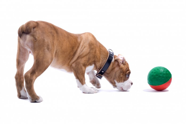 A dog looking at ball toy.
