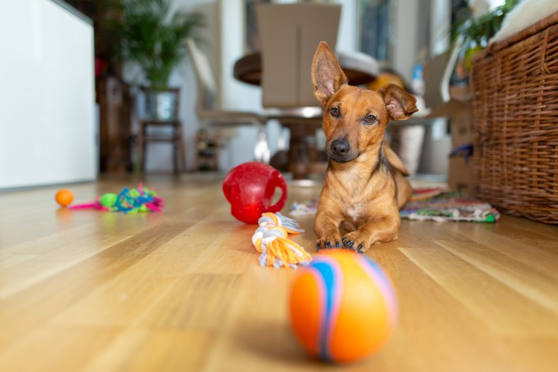 A dog with toys at a home.