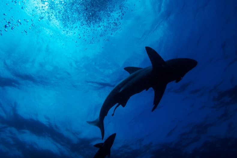 Blacktip reef sharks swim in South Africa.