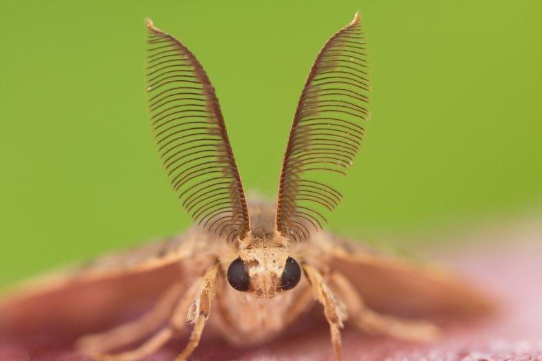 File photo of the Lymantria dispar.