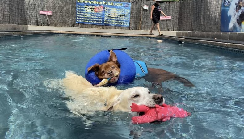 Two dogs during swim therapy