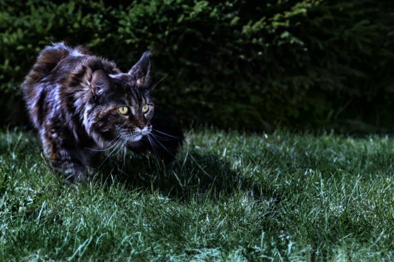 A cat seen on grass at night.