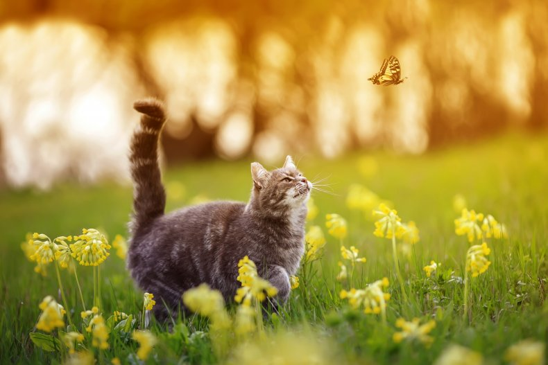 A cat chasing a butterfly.