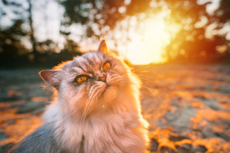 A cat pictured at sunset.