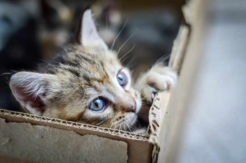 A kitten inside a cardboard box.