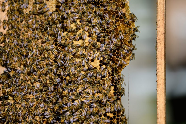 Bees attach themselves to a honeycomb.