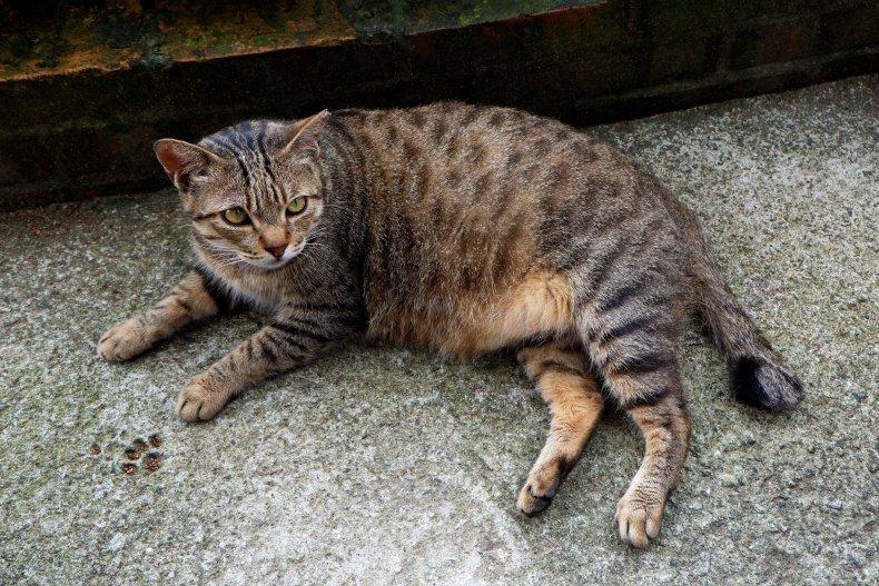 Pregnant cat resting
