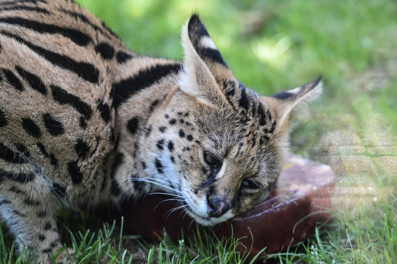 Wild cat escapes zoo, roams highway