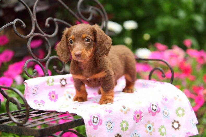 A Dachshund puppy