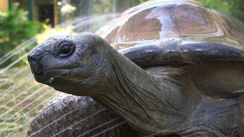 Schurli the tortoise