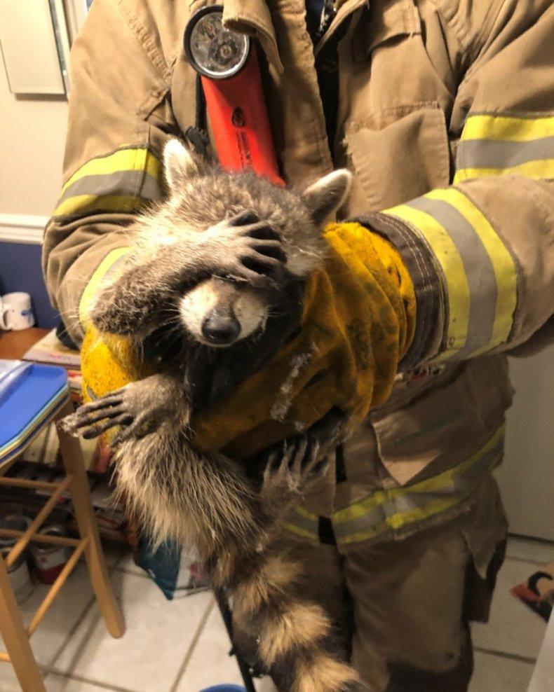 embarrassed raccoon