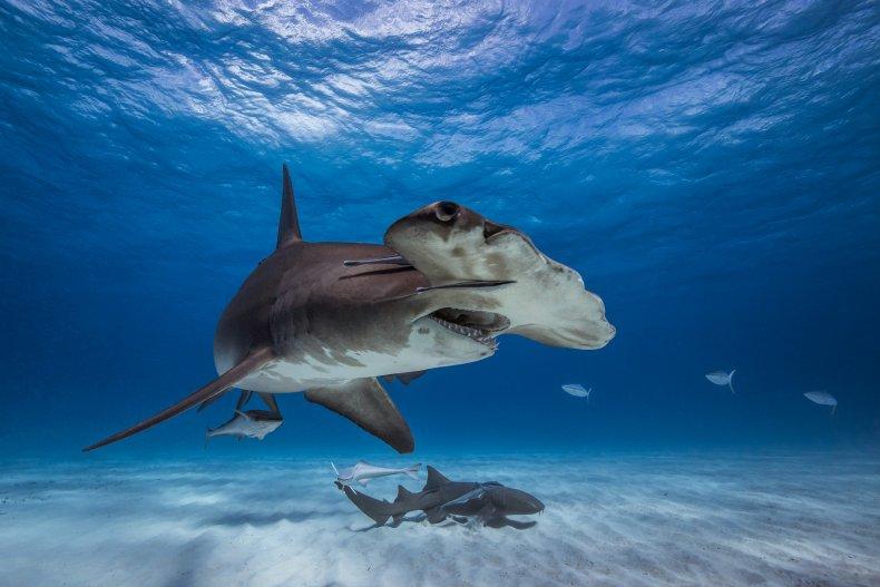 A great hammerhead shark.