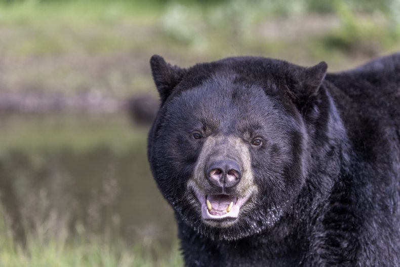 Close up image of a black bear