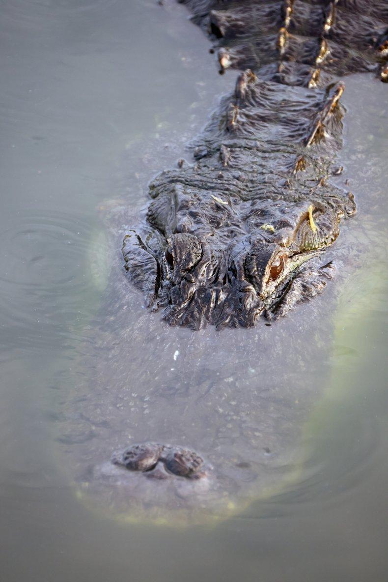 An alligator in Florida.