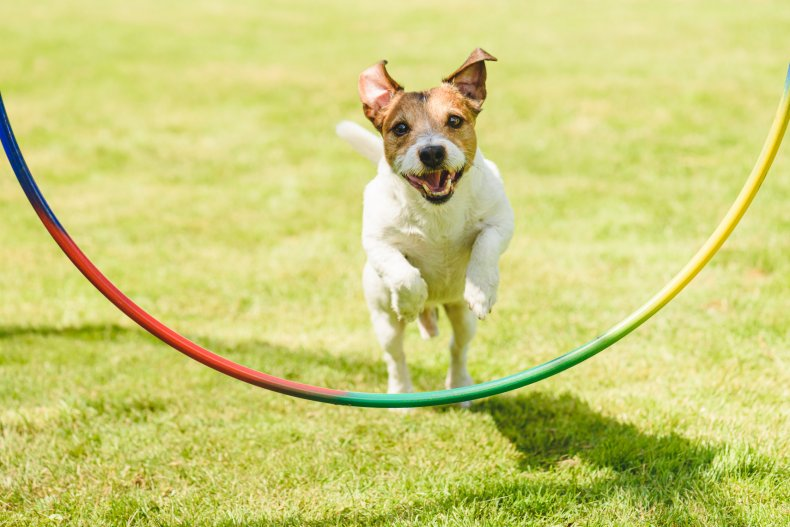 File photo of a dog jumping.