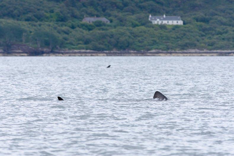 Two basking shark fins.