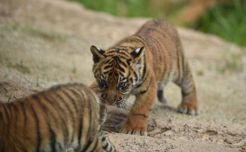 Sumatran tiger cubs play at Taronga Zoo.